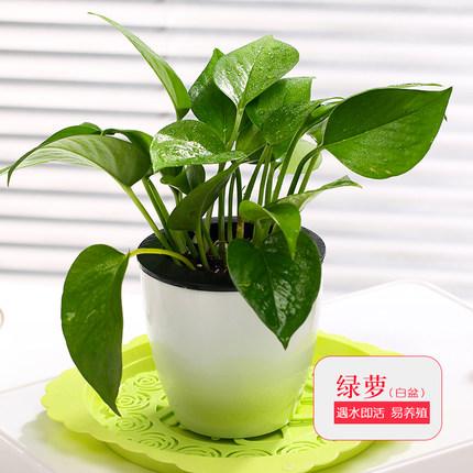 梅芝 绿植盆栽 8.9元包邮