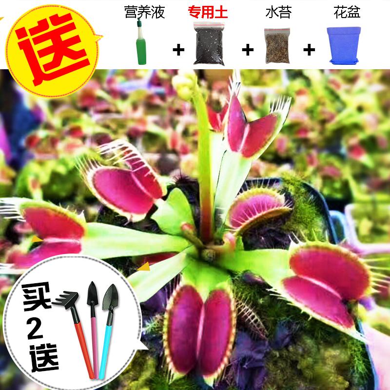 食虫捕蝇草巨夹盆栽苗 【券后14.9元】包邮
