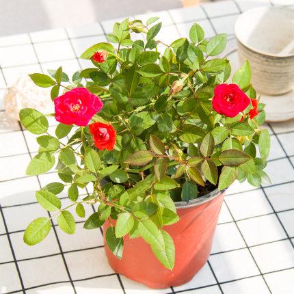 红豆缘  月季盆栽 5元包邮(拍最后一款)
