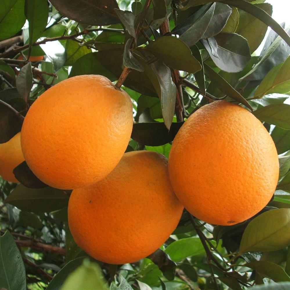 赣南 新鲜脐橙 5斤 19.9元包邮