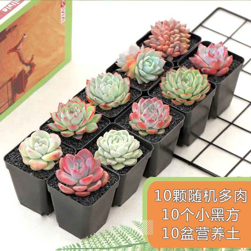 【卉吉】多肉植物10盆套餐 券后8.9元包邮